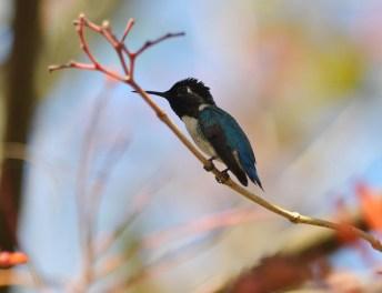 Male Bee Hummingbird (Mellisuga helenae). Photo Credit: Ekaterina Chernetsova from https://www.flickr.com/photos/katechka/16194380673/in/photolist-qF3raT-qQjZFM-qoR94x-9MdNKQ-8epfmM-fGmzPH-6M6wtF-qtxURV-8xMB1a-byn4tA-pXscRQ-qR43UC-qywDES-qsbRPn-qANR3B-c8E4Pm-qAJgra-bo2EuP-daCpuE-egEeFa-qT2roB-qABcoU-9ETLVs-buu82T-voLoUd-99Fgce-axHD1w-eighZz-nrvaeU-qywEWE-ajXNUc-8ByDYM-dZkEwd-qACyKn-qT77Mj-qANPBk-qANPLt-Bqn6vi-89jcxa-pDPbfU-acVGWW-scVAib-6F9vud-CiwoST-AwdR7T-oPqUpy-zycv11-AsW2PG-rGFxTP-uTitoA