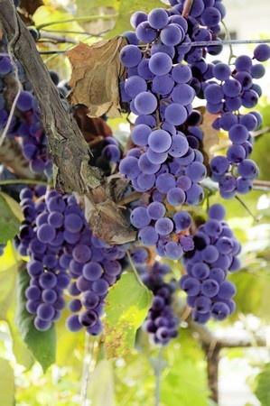 druer, Bulgaria
