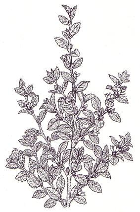Damiana blader