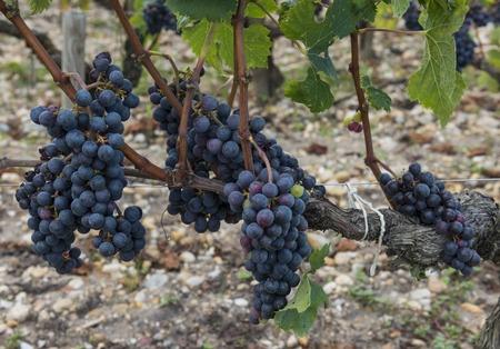 medoc druer