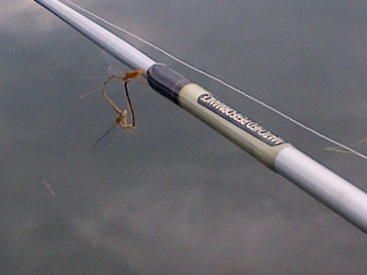 Mating on my fishing pole!