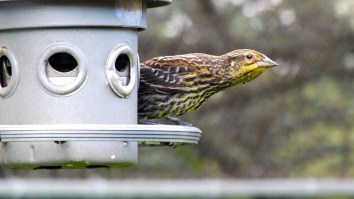 Watching this grey feeder is one of my favourite pastimes.