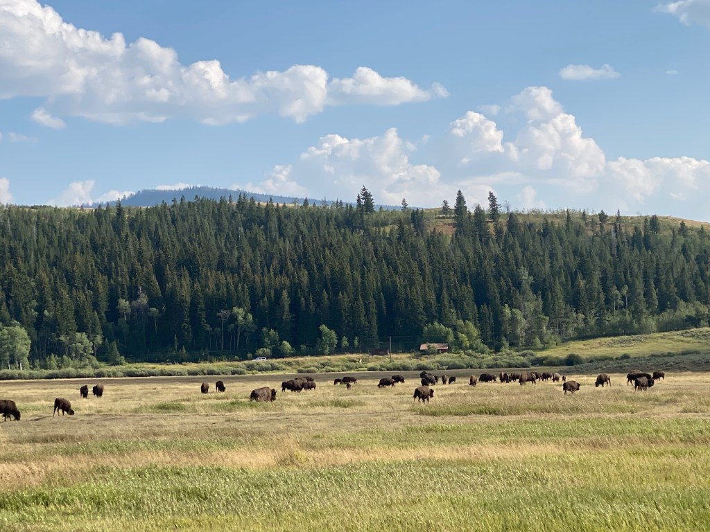 Bisons in Jackson Hole