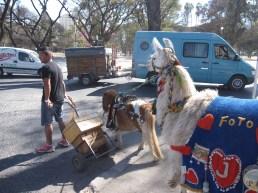 Llamas in Salta, Argentina