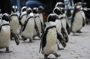 Ein Pinguin kommt selten allein...
