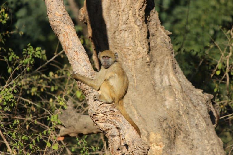 Monkeys on our walking safari