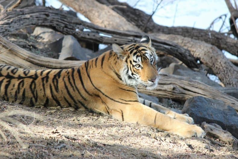 Ranthambore National Park, Sher Bagh, tiger, safari, India