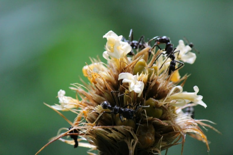 Ants on a dying flower in Napo Wildlife Center