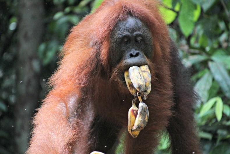 orangutans, Indonesian adventure