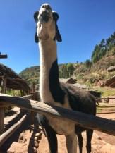 Llama in Peru's Sacred Valley