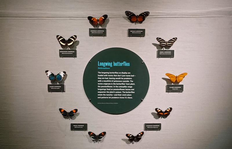 poisonous longwing butterflies