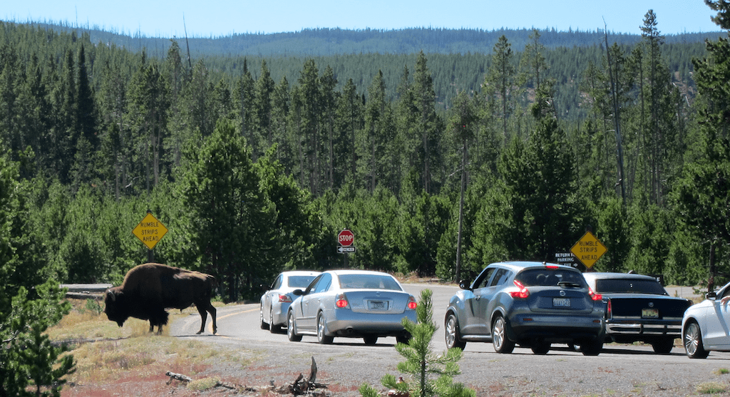 buffalo traffic jam, old faithful, yellowstone national park