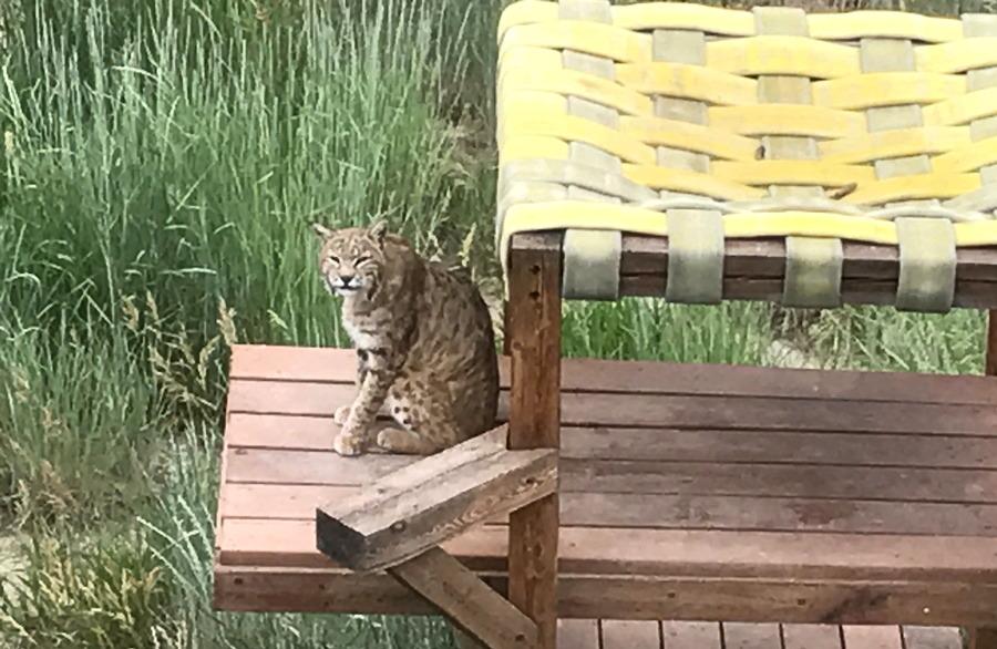 cat staring at photographer, wild animal sanctuary