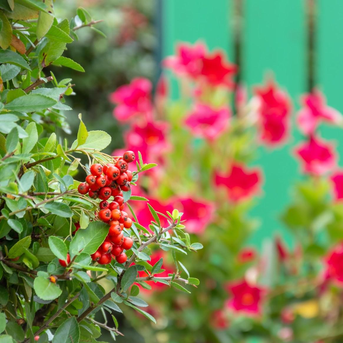 Blumen; Garten; grün; Zaun; bunt; rot; Ziele nachhaltiger Entwicklung