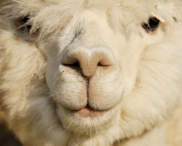 a fluffy sheep (モコモコの羊)