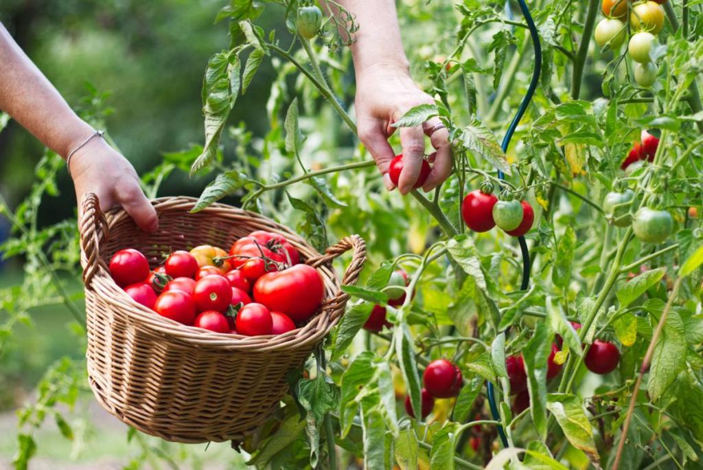 Top 15 Questions About Growing Tomatoes Answered… — Laidback Gardener