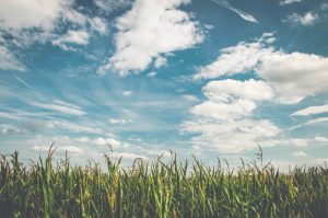 Crops such as corn would be subject to yield mapping. A field of corn growing under a blue sky with clouds.