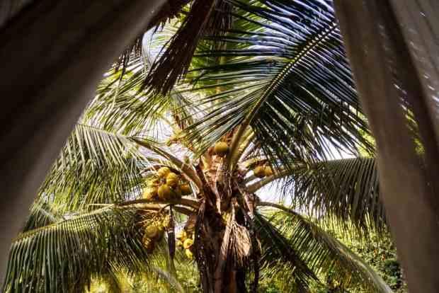 Kokosnüsse an Palme