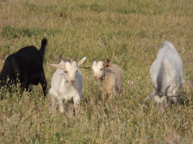 Grazing Goats in Naxos