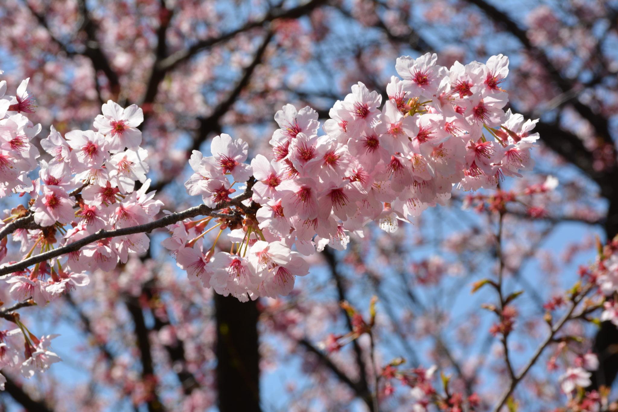 Arbol De Cerezo Japones aprende a disfrutar del sakura, la flor de cerezo en japón