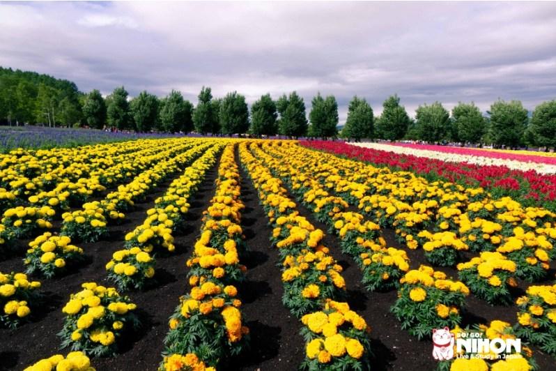 Blumen Felder in Hokkaido