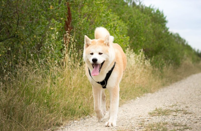 Akita Inu japanese dog in the outdoors
