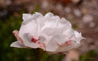 A delicate small rose.