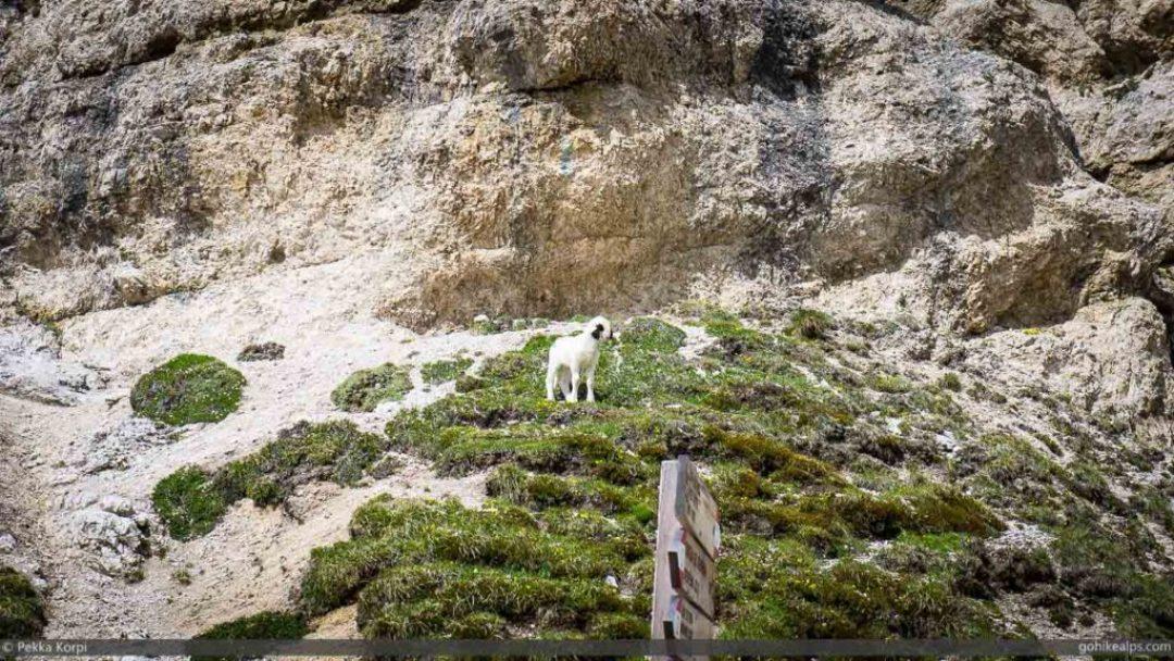 Lost Lamb on Alta Via 2