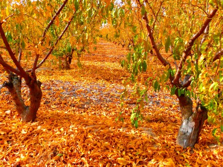 Persimmon orchard, CA, US