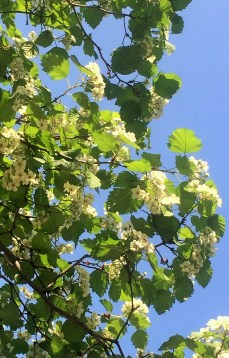 Boyaryshnik blossoms