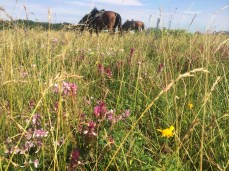Horses and wildflowers in Crimea