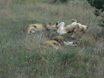 Nap time for lions