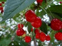 Wild cherries, Crimea