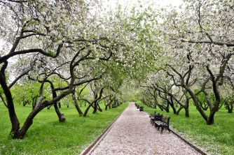 Apple Orchard at Kolomenskoye