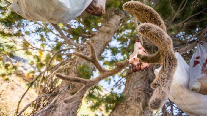 Hanging deer antlers made of velvet after the application of preserves