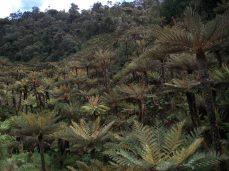 Prestine Vegetation at the Boarder of Kosipe and Sopu - Goilala (108)
