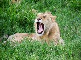 Lion yawning in the Serengeti National Park