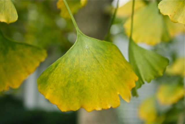 It won't be long before the ginkgos leaves drop