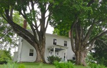 Largest Maple Tree in NH