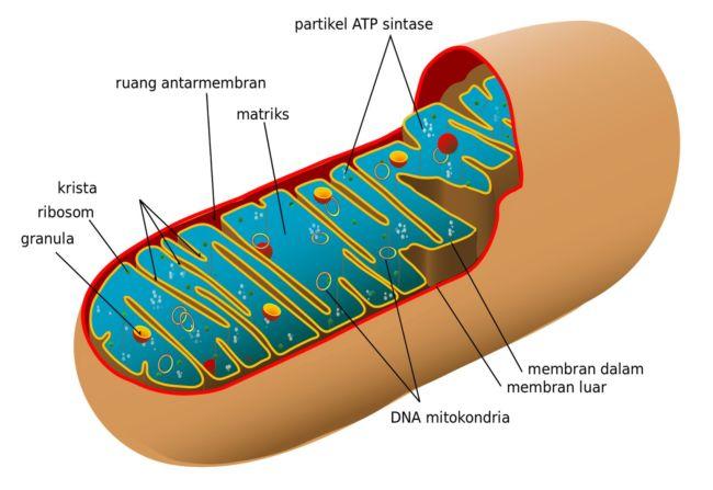 Inklusio atau Paraplasma