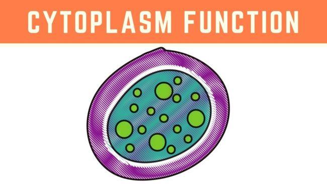 fungsi sitoplasma