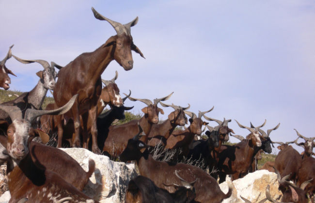 contoh Keanekaragaman hayati tingkat gen pada kambing