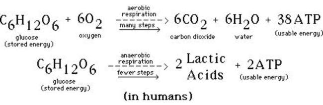Perbedaan Respirasi Aerob dan Anaerob