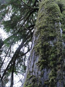 A look up the Western Red Cedar