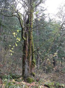 Skinny mossy trees