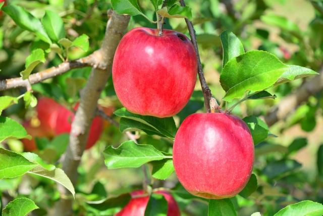 りんご狩り沼田おすすめ
