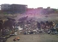 Goats eating garbage