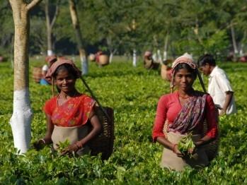 Чайная плантация. Цейлон.