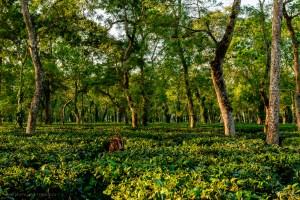 Чайная плантация Ассам