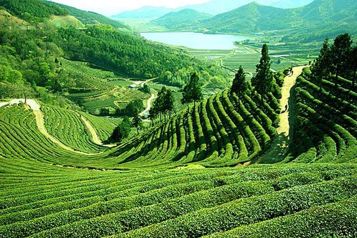 Страны — производители чая